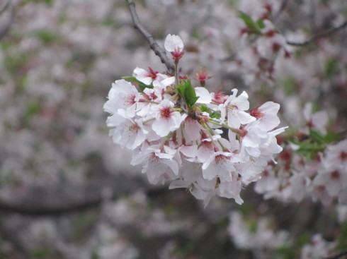 目黒川の桜 ひらひらと。。。Holy Thursday。。。聖木曜日。。。。 *。:☆.。†_a0053662_09375078.jpg