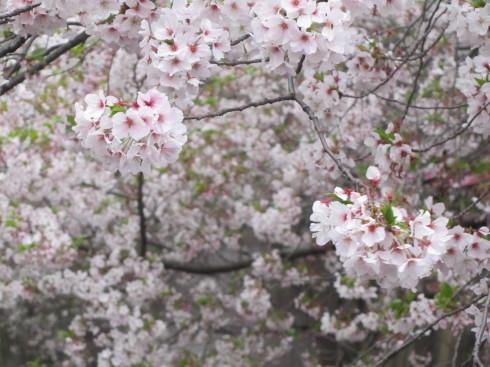 目黒川の桜 ひらひらと。。。Holy Thursday。。。聖木曜日。。。。 *。:☆.。†_a0053662_09410159.jpg