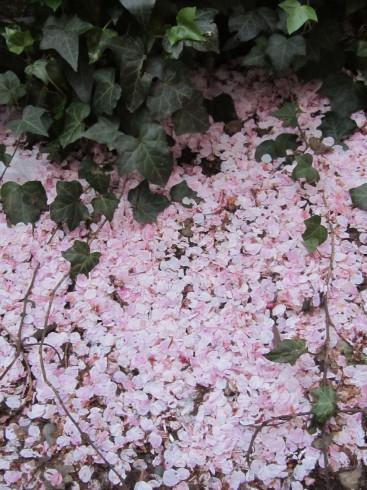 目黒川の桜 ひらひらと。。。Holy Thursday。。。聖木曜日。。。。 *。:☆.。†_a0053662_09433372.jpg