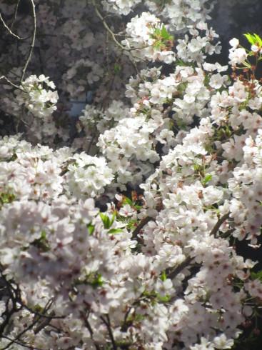 目黒川の桜 ひらひらと。。。Holy Thursday。。。聖木曜日。。。。 *。:☆.。†_a0053662_10055855.jpg