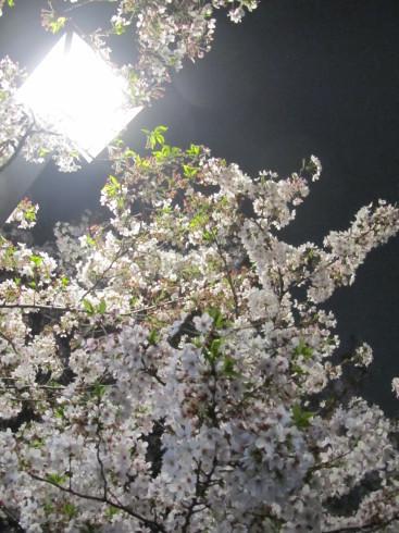 目黒川の桜 ひらひらと。。。Holy Thursday。。。聖木曜日。。。。 *。:☆.。†_a0053662_10073266.jpg