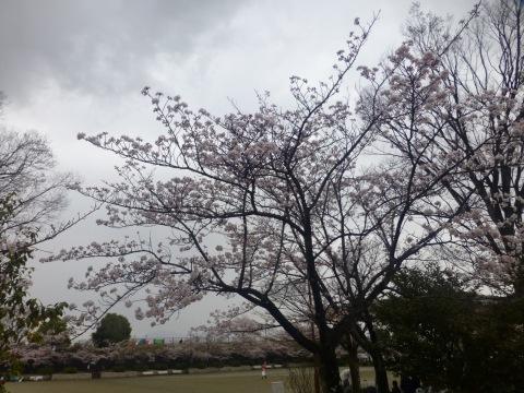 ご近所の桜@甲府荒川の家_c0131878_17474308.jpg