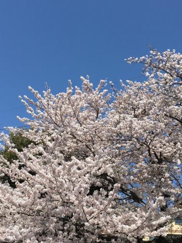満開の桜と、、_c0195496_00220965.jpg