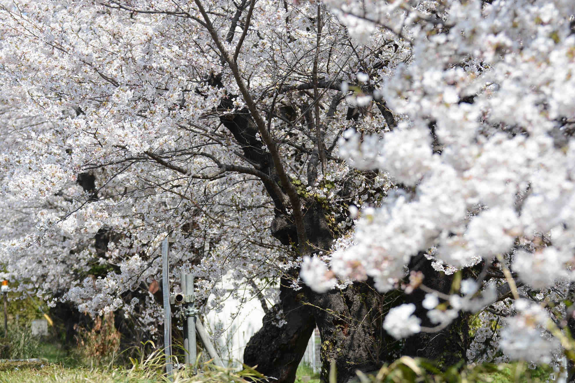 桜とほぼ同時期に咲くカタクリの花_a0148206_20202997.jpg