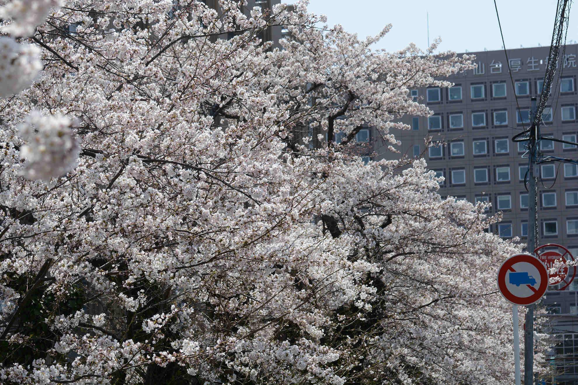 桜とほぼ同時期に咲くカタクリの花_a0148206_20203592.jpg