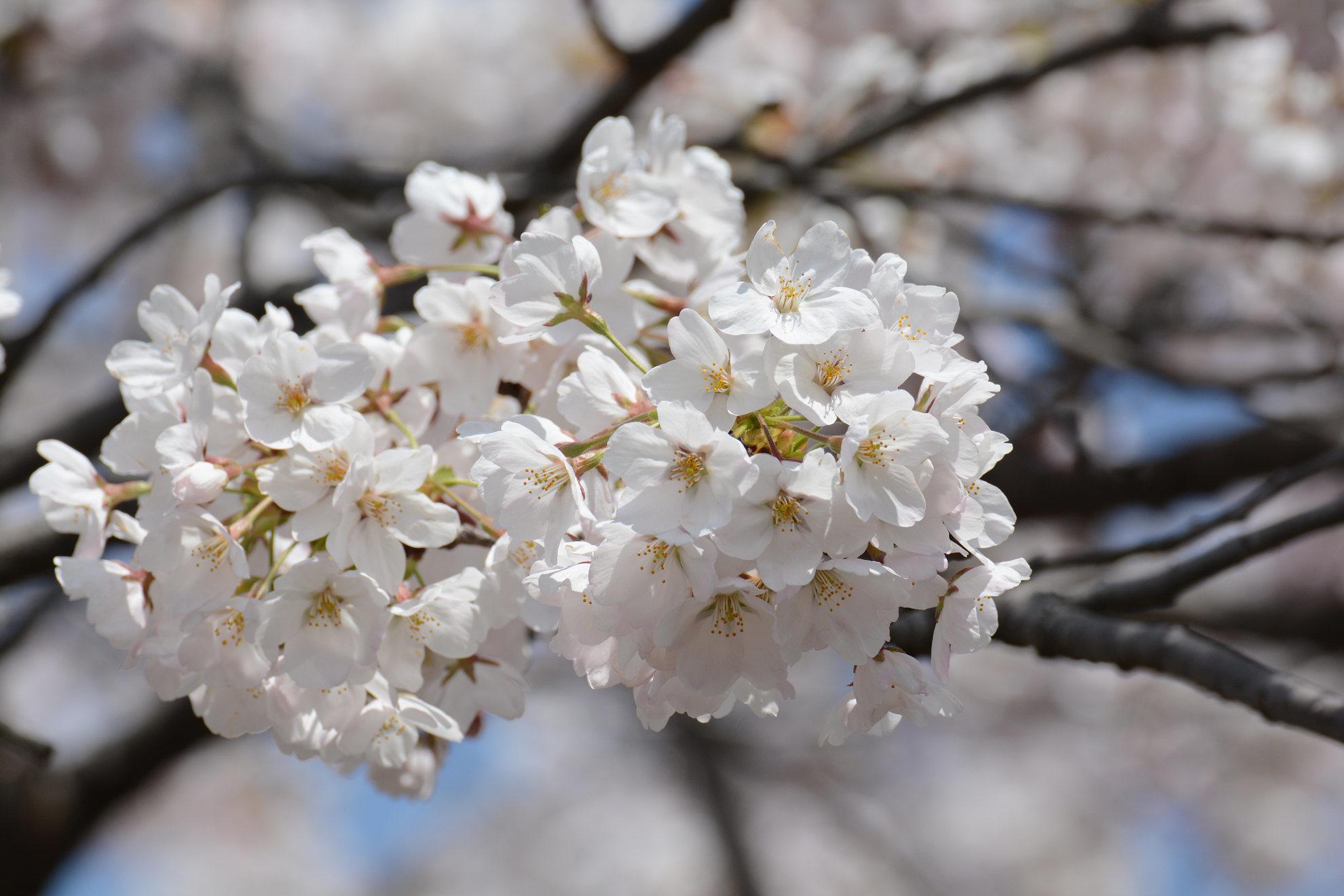 桜とほぼ同時期に咲くカタクリの花_a0148206_20203903.jpg