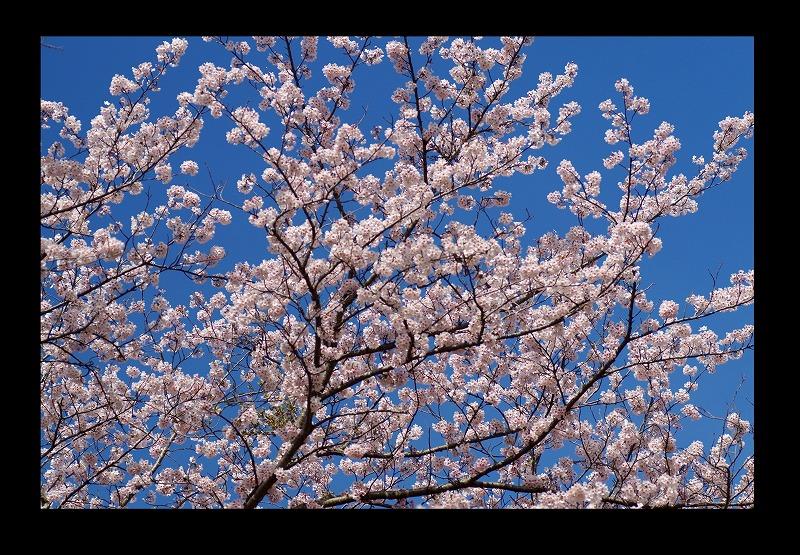 桜 そろそろ散って_d0147812_21512069.jpg