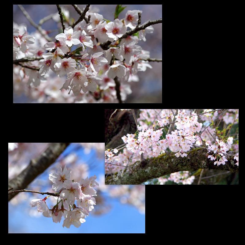 桜 そろそろ散って_d0147812_21514033.jpg