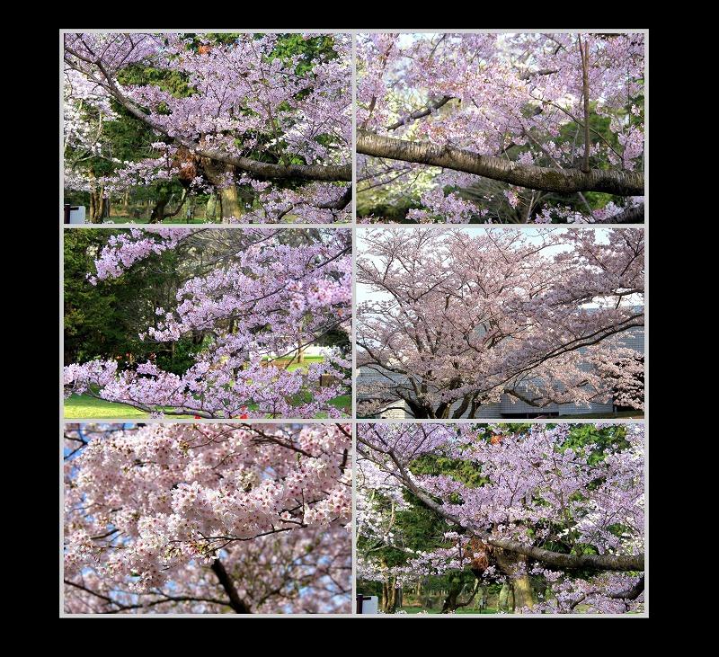 桜 そろそろ散って_d0147812_2152187.jpg