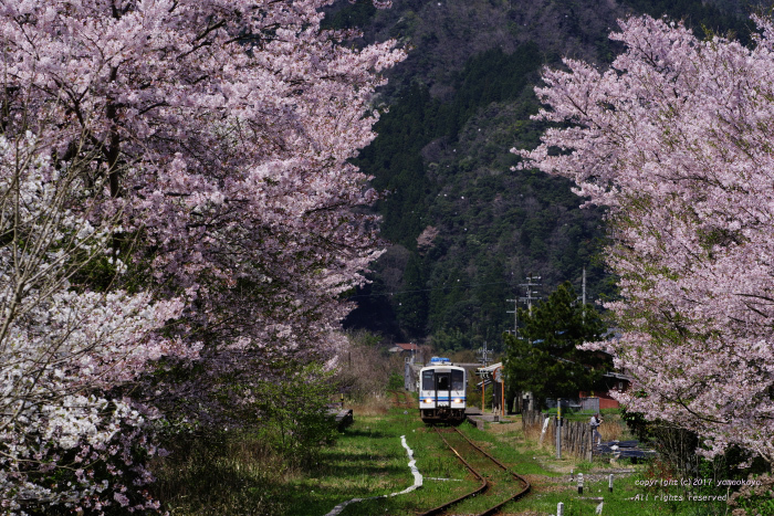桜舞い散る中で_d0309612_21232425.jpg