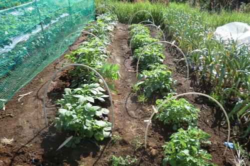ジャガイモの土寄せ_b0137932_16014035.jpg