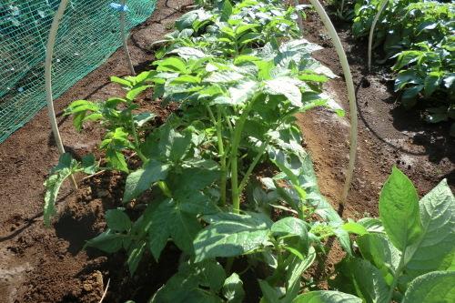 ジャガイモの土寄せ_b0137932_16022519.jpg
