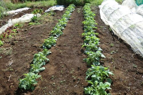 ジャガイモの土寄せ_b0137932_16042608.jpg