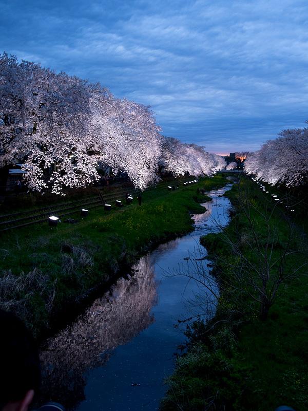 野川の桜ライトアップ 2017_a0003650_23140001.jpg