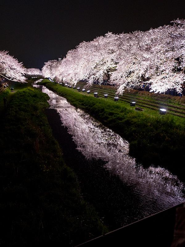 野川の桜ライトアップ 2017_a0003650_23174688.jpg