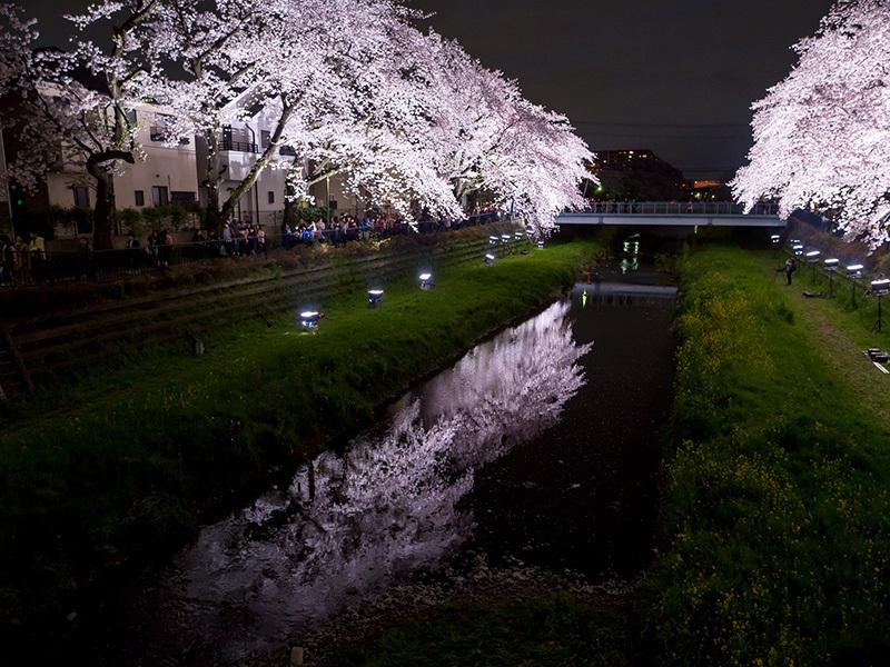 野川の桜ライトアップ 2017_a0003650_23195789.jpg