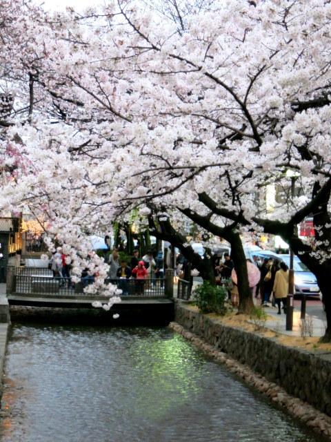 京都お花見 ⑤高瀬川沿いの桜*ライトアップ_f0236260_23003470.jpg