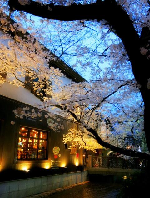 京都お花見 ⑤高瀬川沿いの桜*ライトアップ_f0236260_23025101.jpg