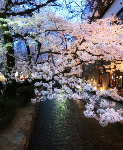 京都お花見 ⑤高瀬川沿いの桜*ライトアップ_f0236260_23044308.jpg