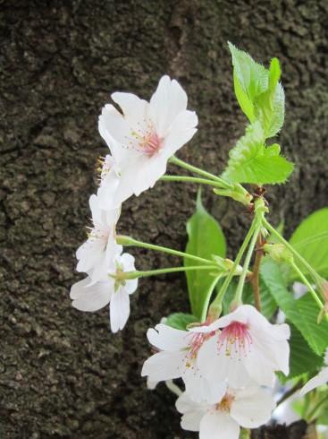 可憐な桜 と 祈りに満ちる 聖金曜日。。。Good Friday 。。。 *。:☆.。†_a0053662_12411726.jpg