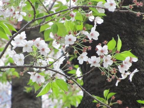 可憐な桜 と 祈りに満ちる 聖金曜日。。。Good Friday 。。。 *。:☆.。†_a0053662_12424627.jpg