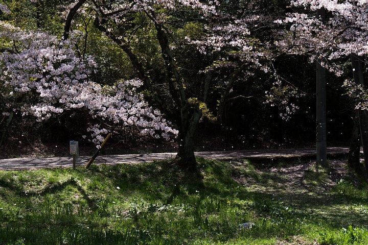 桜の季節の桜猫_d0353489_17514845.jpg