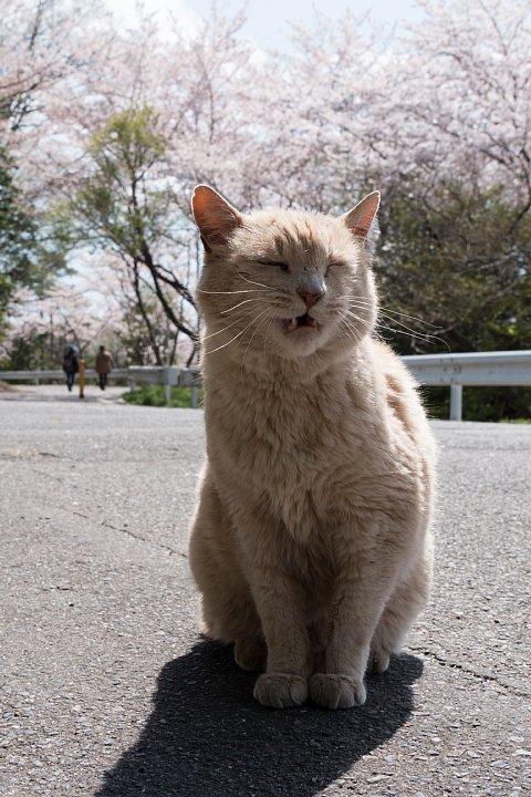 桜の季節の桜猫_d0353489_17544277.jpg