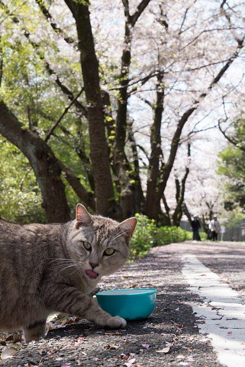 桜の季節の桜猫_d0353489_17582412.jpg