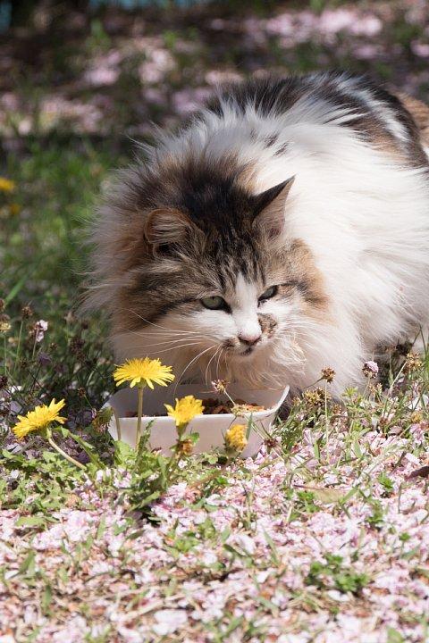 桜の季節の桜猫_d0353489_1834333.jpg