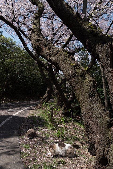 桜の季節の桜猫_d0353489_1854233.jpg