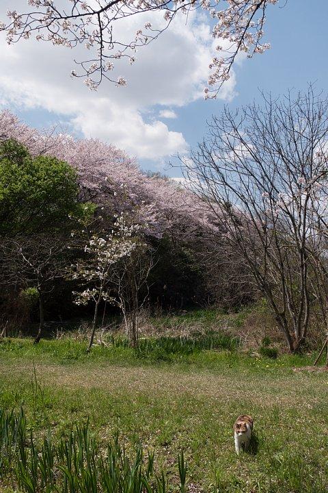 桜の季節の桜猫_d0353489_1861785.jpg