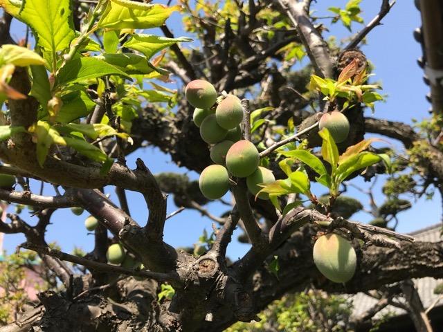 梅の成長_f0232994_1425579.jpg