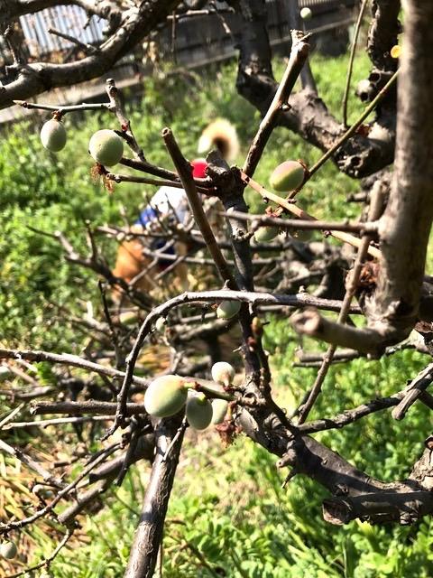 梅の成長_f0232994_14376.jpg