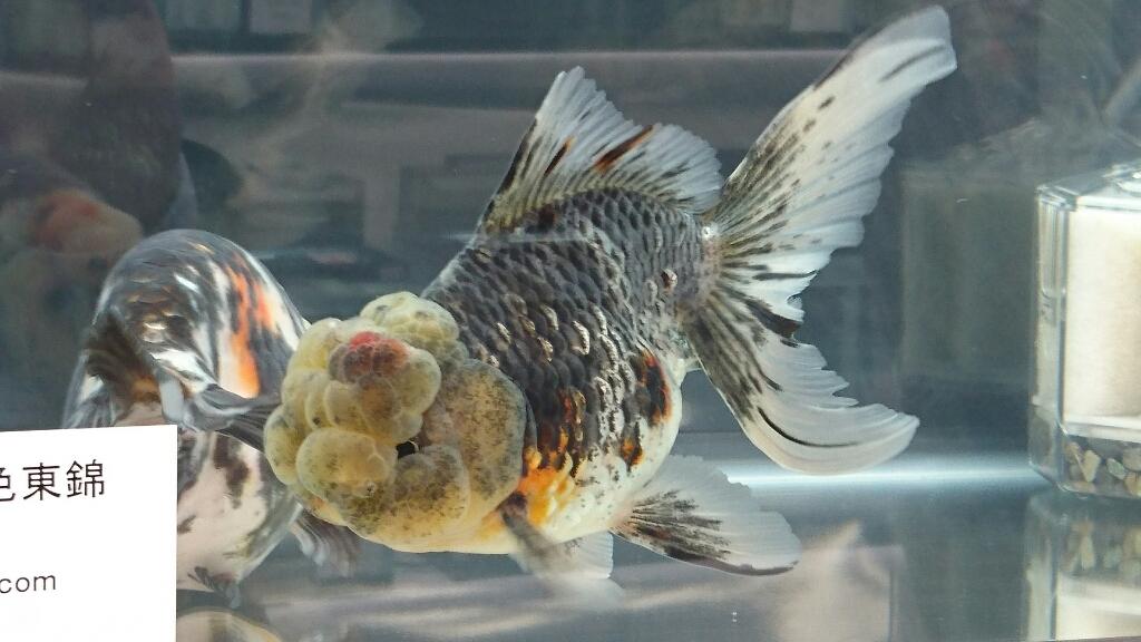 観賞魚フェア(2017)…vol.2_b0298605_22182901.jpg