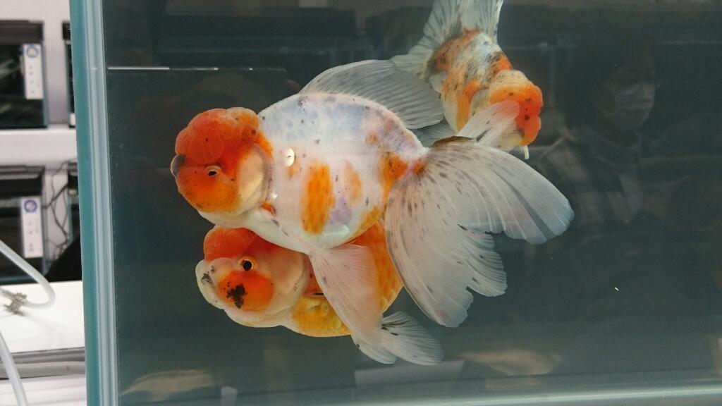 観賞魚フェア(2017)…vol.2_b0298605_22215612.jpg
