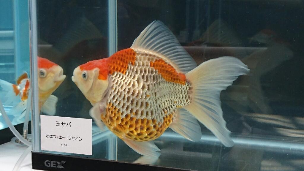 観賞魚フェア(2017)…vol.3_b0298605_22275350.jpg