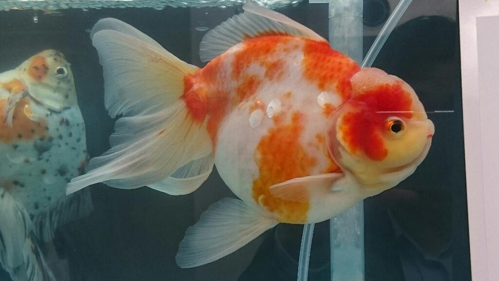 観賞魚フェア(2017)…vol.3_b0298605_22303400.jpg