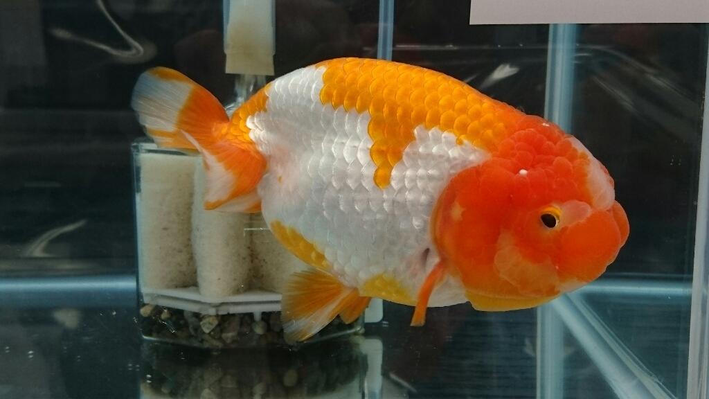 観賞魚フェア(2017)…vol.3_b0298605_22303666.jpg