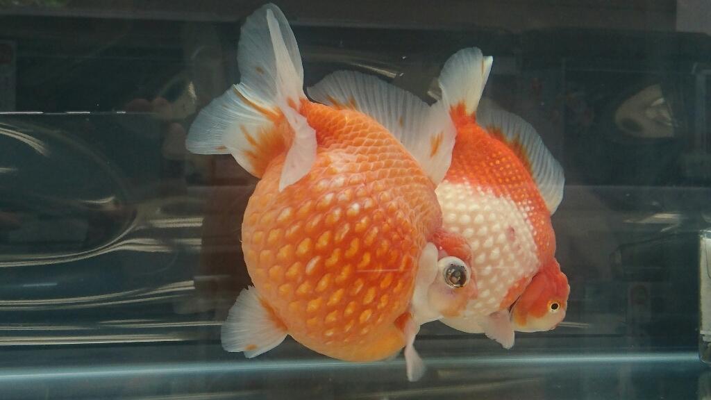 観賞魚フェア(2017)…vol.3_b0298605_22312445.jpg