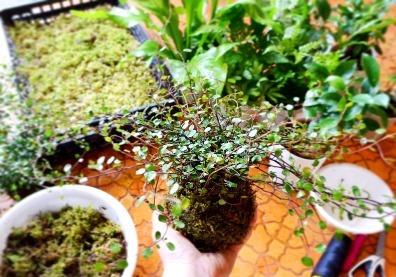 4、5月 盆栽ワークショップのご案内_d0263815_16024740.jpg