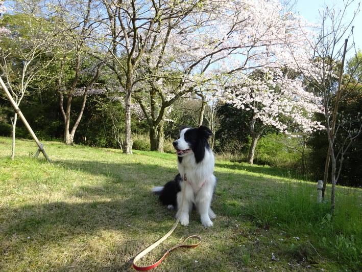 今年の桜_b0177649_22503896.jpg