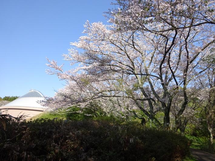 今年の桜_b0177649_2250436.jpg