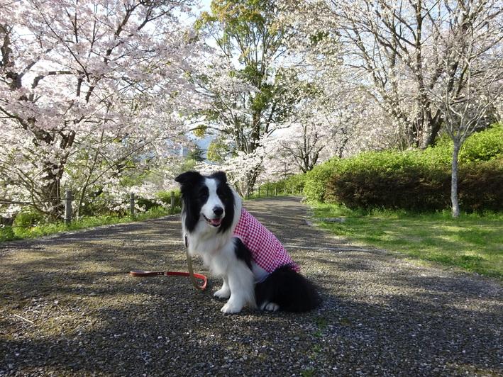 今年の桜_b0177649_22511319.jpg
