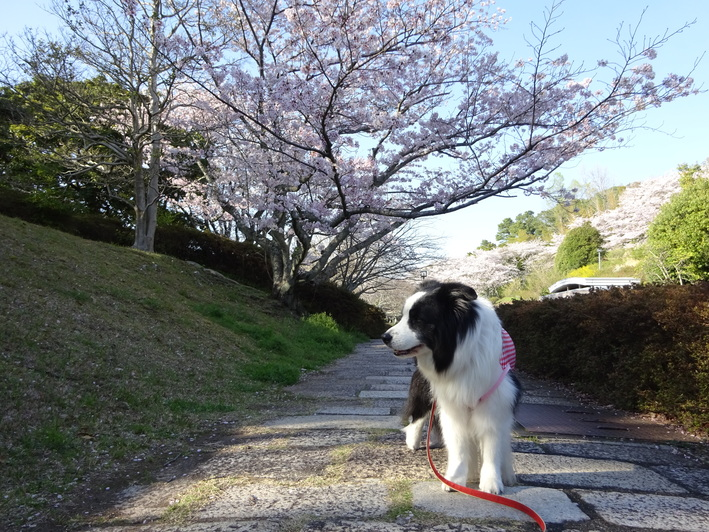 今年の桜_b0177649_225836100.jpg