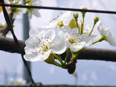 熊本梨 本藤果樹園 元気な花が咲きました!!2017 開花と収穫の順番は逆なんです!_a0254656_17020966.jpg