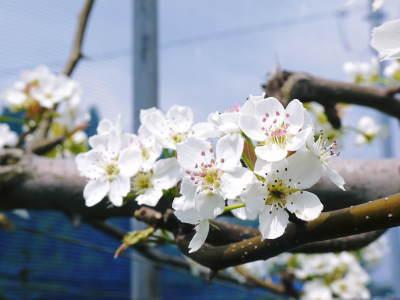 熊本梨 本藤果樹園 元気な花が咲きました!!2017 開花と収穫の順番は逆なんです!_a0254656_17032773.jpg