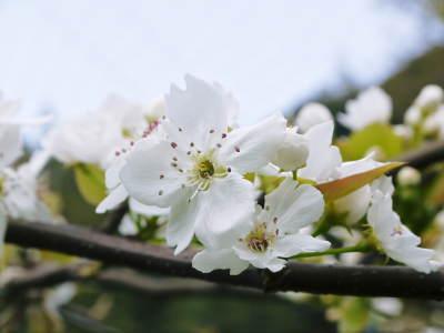 熊本梨 本藤果樹園 元気な花が咲きました!!2017 開花と収穫の順番は逆なんです!_a0254656_17141809.jpg