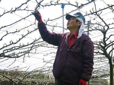 熊本梨 本藤果樹園 元気な花が咲きました!!2017 開花と収穫の順番は逆なんです!_a0254656_17221582.jpg