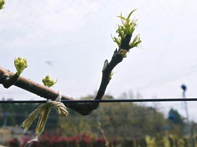 熊本梨 本藤果樹園 元気な花が咲きました!!2017 開花と収穫の順番は逆なんです!_a0254656_17333646.jpg