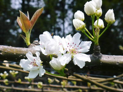 熊本梨 本藤果樹園 元気な花が咲きました!!2017 開花と収穫の順番は逆なんです!_a0254656_17482077.jpg